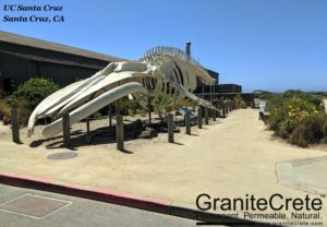 GraniteCrete permeable paving pathway alongside the blue whale skeleton at UC Santa Cruz.