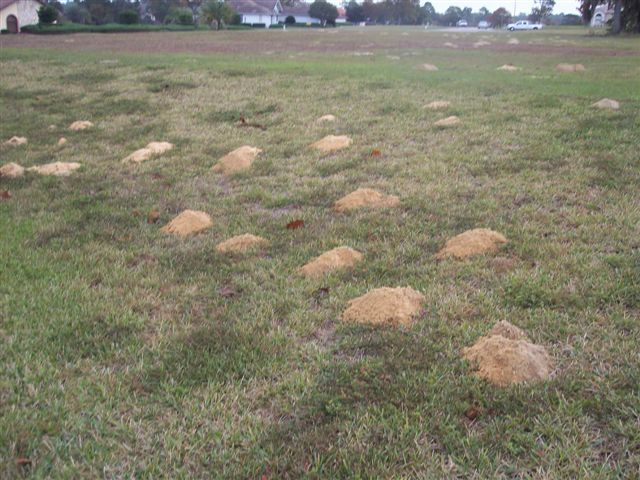 Gopher mounds in a yard.